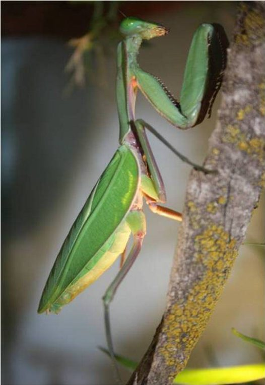 Giant Green Mantis
