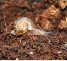 Baby Fraser's Rainforest Snail