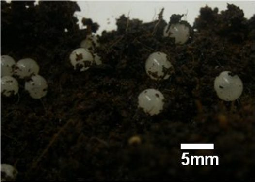 Fraser's Rainforest Snail eggs