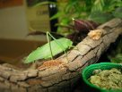 Garden Katydid with food dish