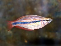 A Banded Rainbowfish caught in the Blyth River