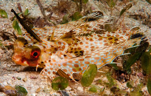 Purple Flying Gurnard at Bootless Bay