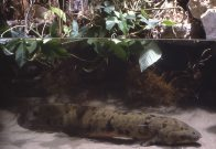 Australian Lungfish at the Shedd Aquarium