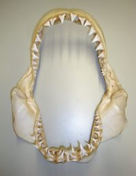 White Shark jaws