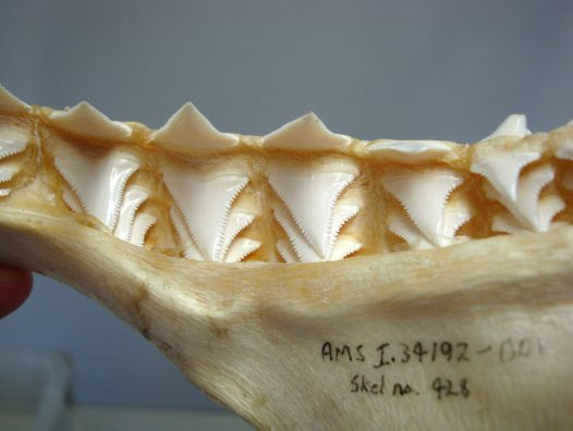 shark teeth rows. White Shark teeth