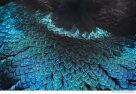Magnificent Riflebird neck plumage