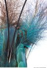 Blue Bird of Paradise flank and tail plumage