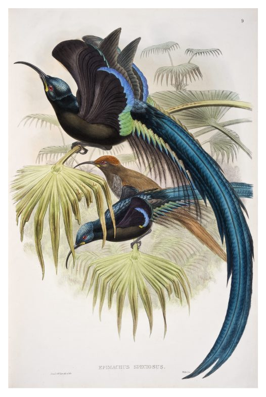 Great Promerops, John Gould