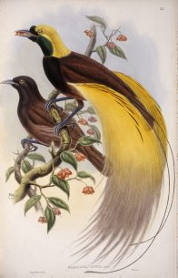 Great Bird of Paradise, John Gould