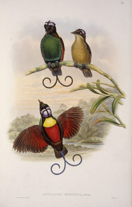 Bareheaded Bird of Paradise, John Gould