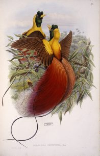 Red Bird of Paradise, John Gould