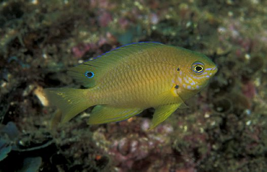 An Ambon Damsel at North West Solitary Island