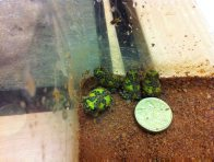 Baby Crucifix Frogs with scale