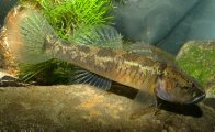 Flathead Gudgeon in an aquarium