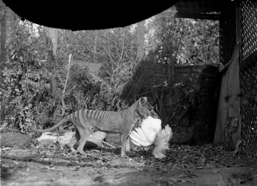 Thylacine with Chicken
