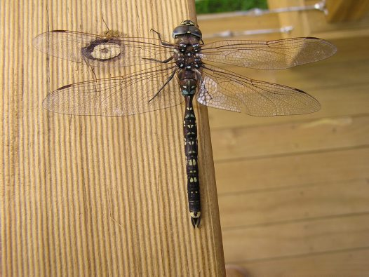 Arial view Blue spotted hawker dragonfly