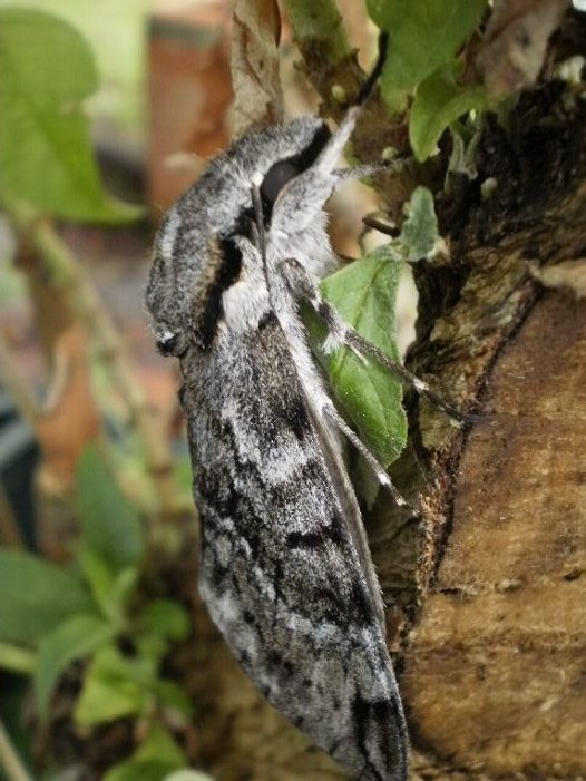 Privet hawk moth (side view)