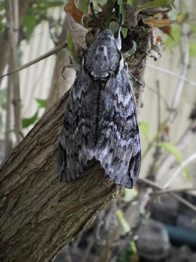 Privet hawk moth (back view)