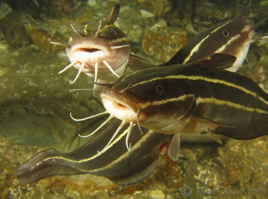 Striped Catfish, Plotosus lineatus