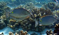 Goldlined Rabbitfish, Siganus lineatus