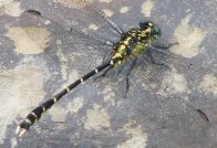Southern Vicetail dragonfly