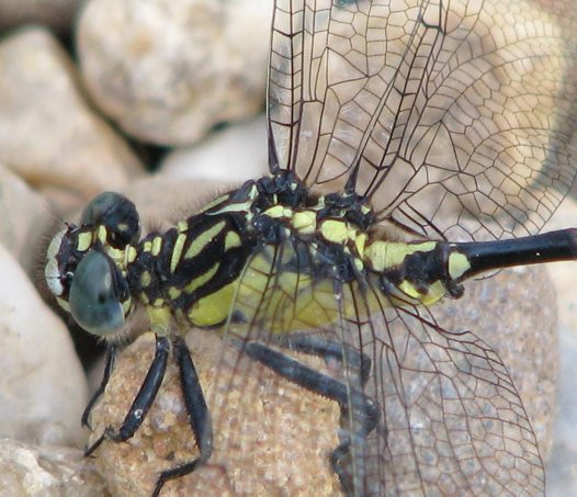Southern Vicetail dragonfly closeup