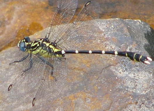 Stout Vicetail dragonfly