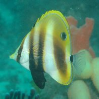 Highfin Coralfish, Coradion altivelis