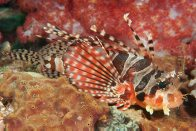 Zebra Lionfish at Pumpkin Patch