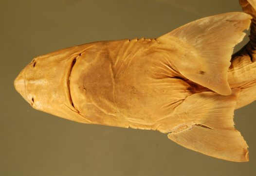 Head of Acanthias megalops