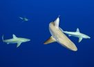 Galapagos Sharks near the surface