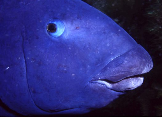 Head of a Western Blue Groper