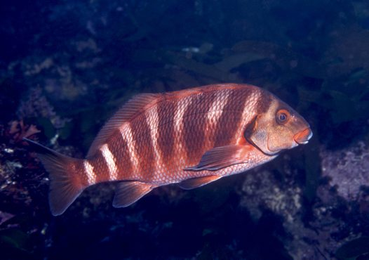 Lateral view of a Banded Morwong