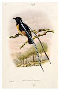 King of Saxony Bird of Paradise, R. Bowdler Sharpe