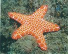 Red Sea star, Pentagonaster dubeni, Glen Atkinson