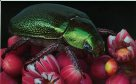 Rainforest Christmas Beetle - Stanley Breeden
