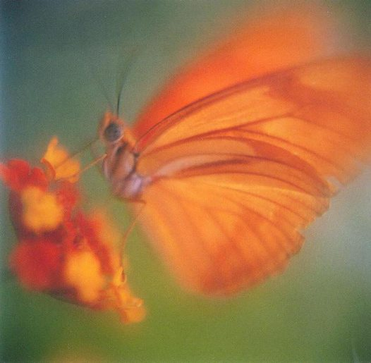 Orange Butterfly - Rebecca Devereux