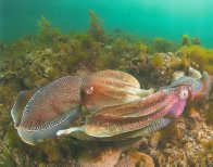 Mating Giant Cuttlefish - Neil Vincent