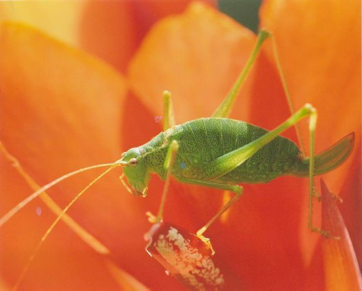 Long Horned Grasshopper - Willy Bruechle