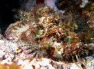 False Stonefish at Lord Howe Island