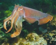 Giant Cuttlefish - Lyn Vincent