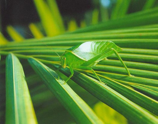 Leaf Bug - Steven Williams