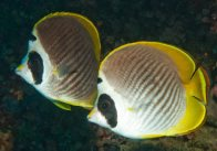 Philippine Butterflyfish at Ningaloo Reef
