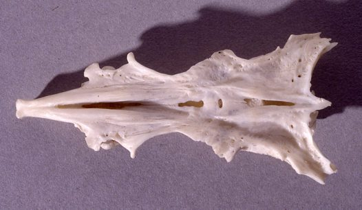 Estuary Cobbler skull - upper surface