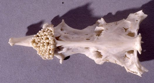 Estuary Cobbler skull - lower surface