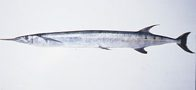 A Barred Longtom caught at Ningaloo Reef