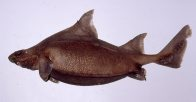 Prickly Dogfish, Oxynotus bruniensis