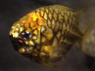 Pineapplefish, Cleidopus gloriamaris