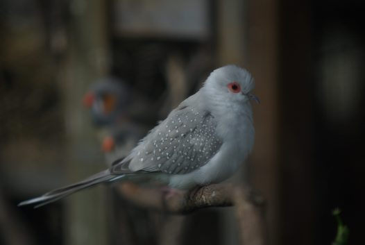Diamond dove in aviary