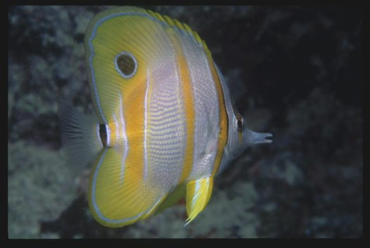A Beaked Coralfish at the Great Barrier Reef
